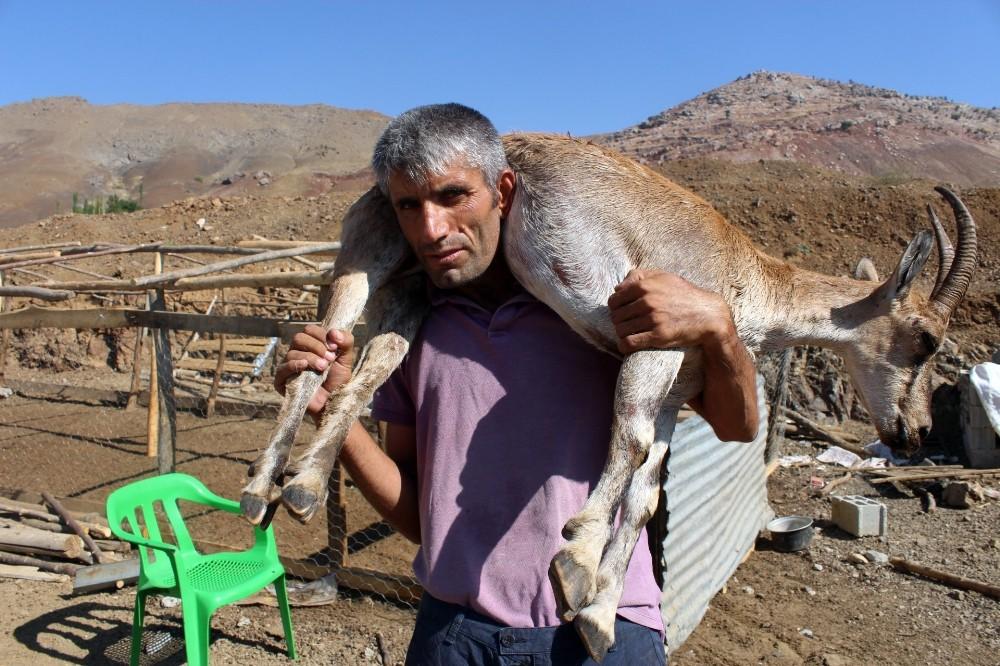 Kilometrelerce yaralı dağ keçisini sırtında taşıyan çoban bu kez yem çuvallarını taşıdı