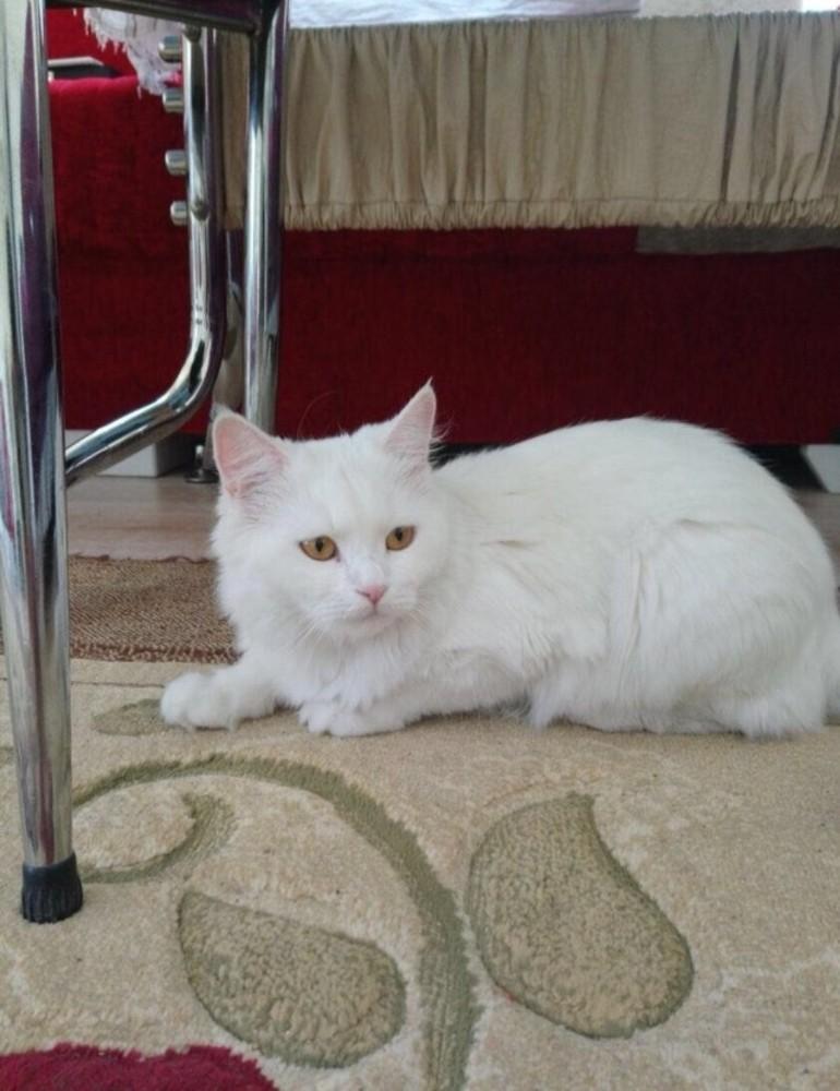 Kayıp kedisini bulana 2 bin lira ödül verecek
