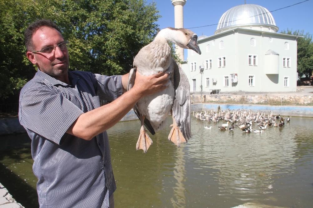 Tavukları telef oldu kaz işine girdi, 3 ayda 30 bin lira kazandı