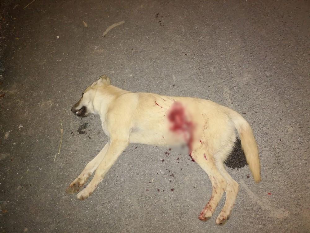 Kümesindeki tavukları yiyen köpeği tüfekle öldürdü
