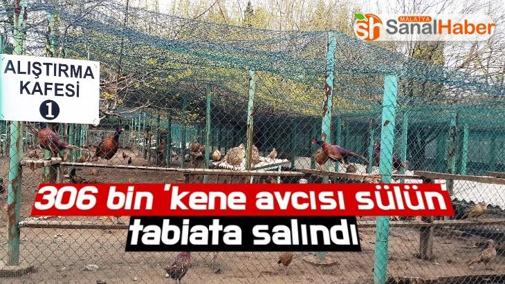 306 bin 'kene avcısı sülün' tabiata salındı