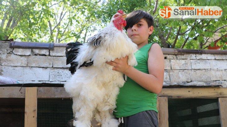 Bu horoz ve tavuklar dev cüsseleriyle dikkat çekiyor