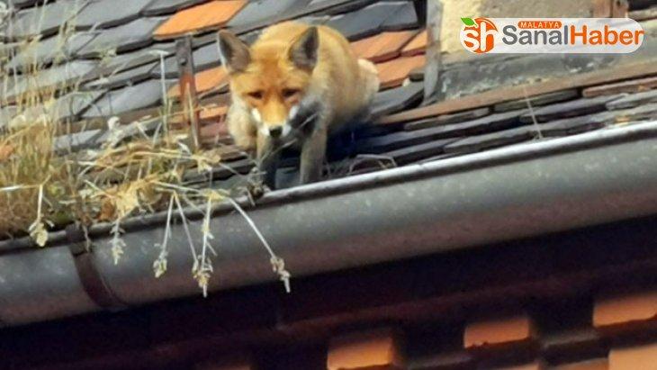 Çatıda mahsur kalan tilkiyi itfaiye ekipleri kurtardı