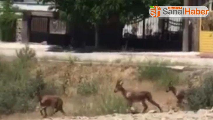 Elazığ'da dağ keçileri bu kez mahalleye kadar indi