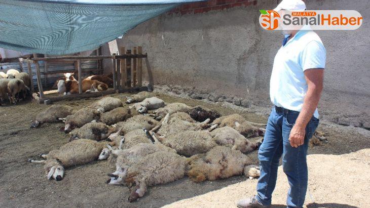 Elazığ'da kurtlar mahalleye indi, 22 koyunu telef etti