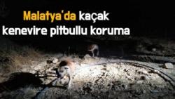Malatya'da kaçak kenevire pitbullu koruma