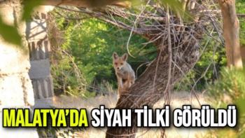 Malatya'da Siyah Tilki Görüldü