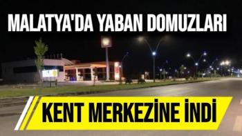 Malatya'da Yaban domuzları kent merkezine indi