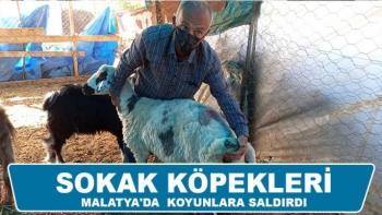 Sokak köpekleri Malatya'da koyunlara saldırdı