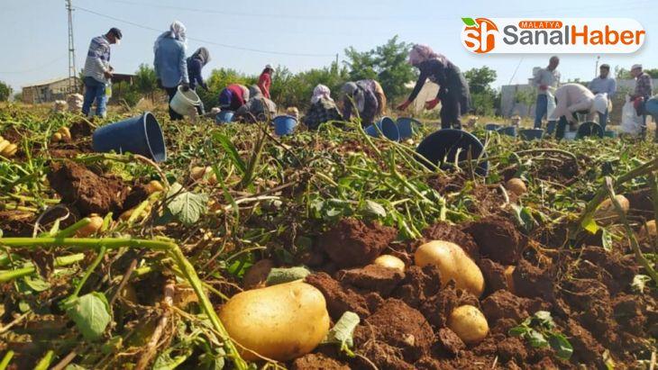 Kahta'da yerli patates hasadı yapıldı