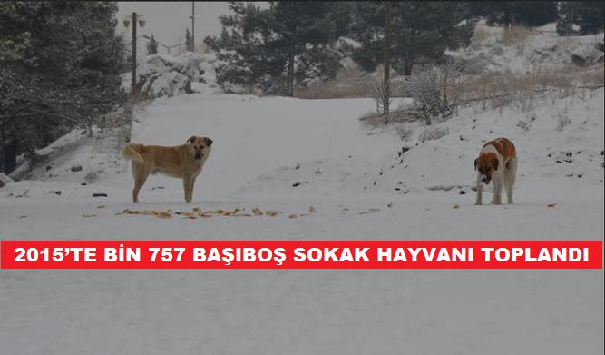 2015'TE BİN 757 BAŞIBOŞ SOKAK HAYVANI TOPLANDI