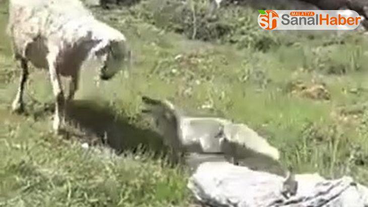 Koyun sürüsüne saldıran tilkiyi çoban köpekleri telef etti