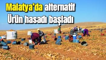 Malatya'da alternatif üründe hasad başladı