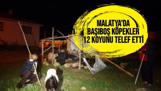 Malatya'da Başıboş köpekler, 12 koyunu telef etti