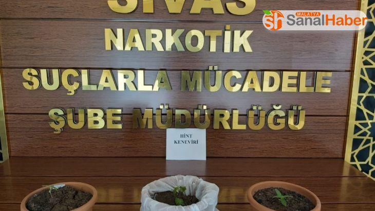 Sivas'ta 660 kök Hint Keneviri ele geçirildi