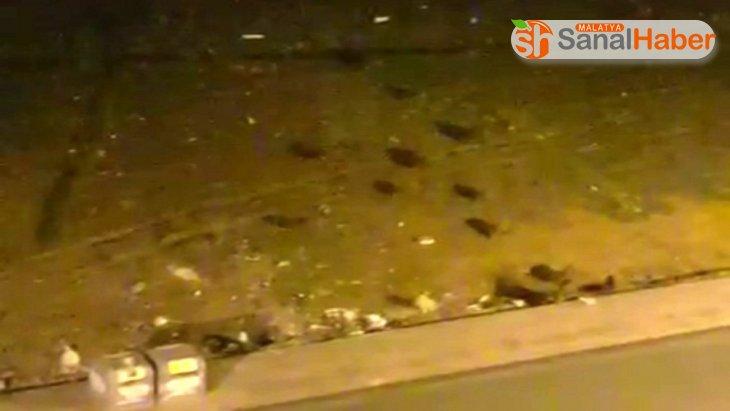 Sokakları boş bulan domuz sürüsü kent merkezine indi
