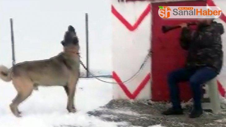 Zurnaya eşlik eden Kangal köpeğine sosyal medyada büyük beğeni