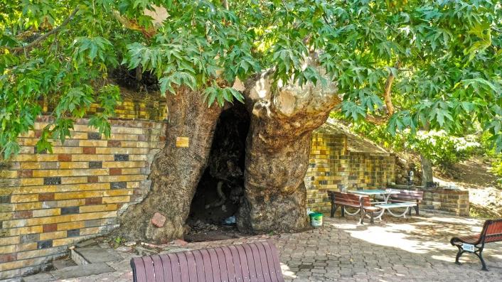 812 yaşındaki çınar duvardan kurtarıldı