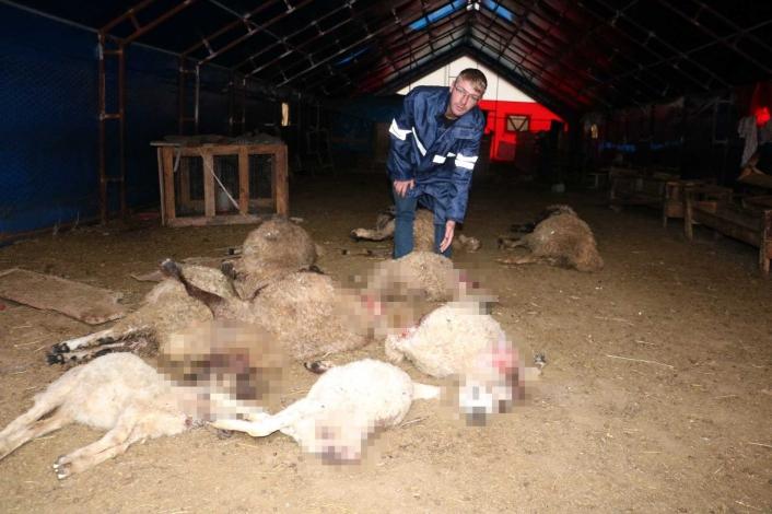 Devlet destekli koyunlar kurtlara yem oldu