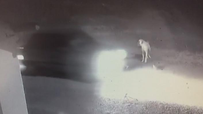 Dikkatsiz sürücü ezdi geçti, yardımına Kangal koştu