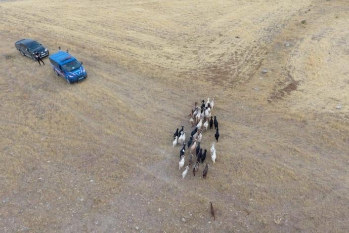 Elazığ´da firar eden hayvanlar, 7 kilometre uzakta drone ile bulundu