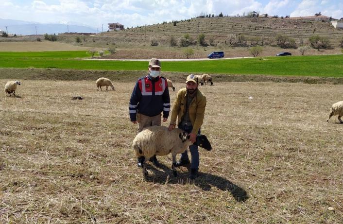 Elazığ´da kayıp koyunlar jandarma tarafından bulundu