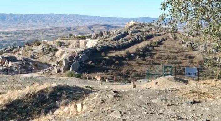 Elazığ´da yaban keçileri tarihi Harput Kalesine indi
