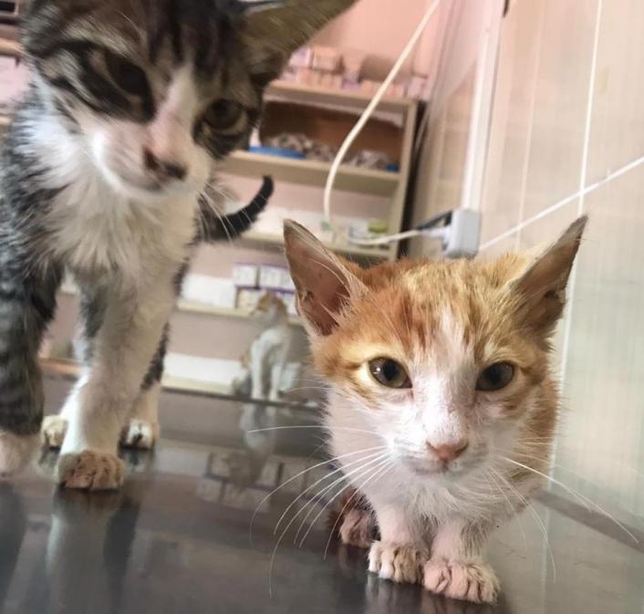 Fıtık teşhisi konulan kedi ameliyat edildi