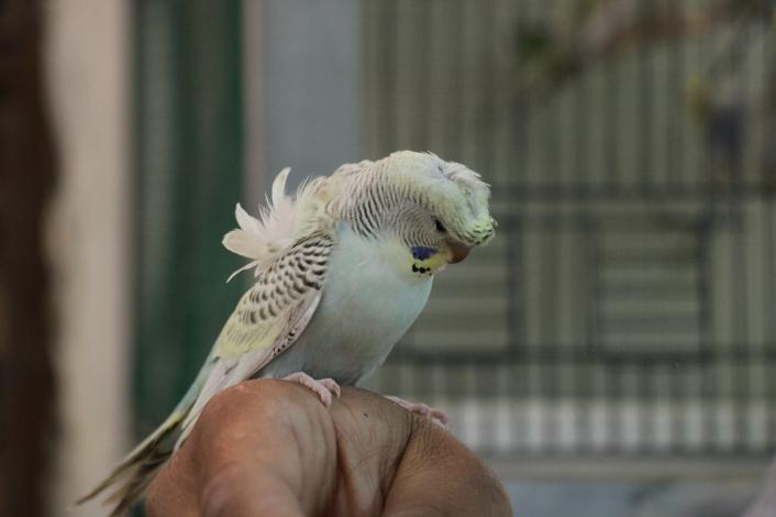 Gençlerin yeni tutkusu muhabbet kuşu