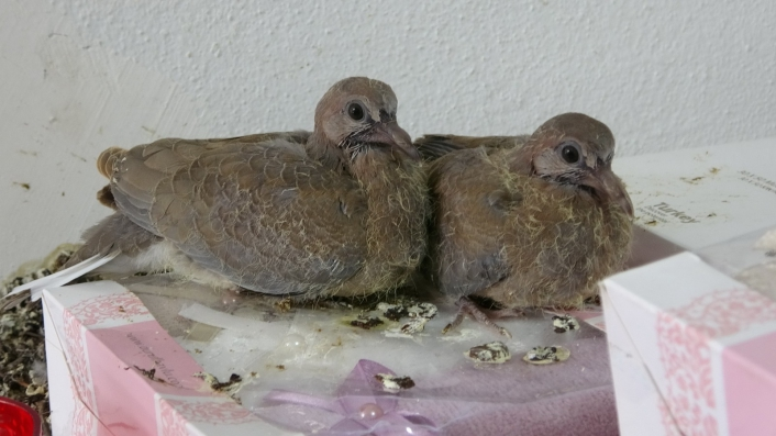 İş yerinde dünyaya gelen güvercinlere dokunulmuyor