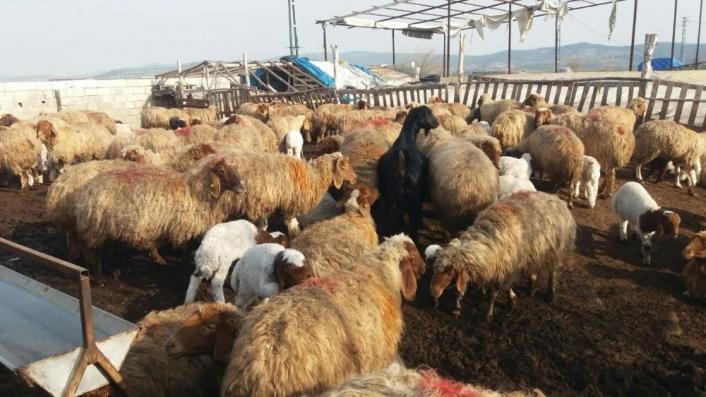 Kahramanmaraş´ta hayvancılık gelişiyor