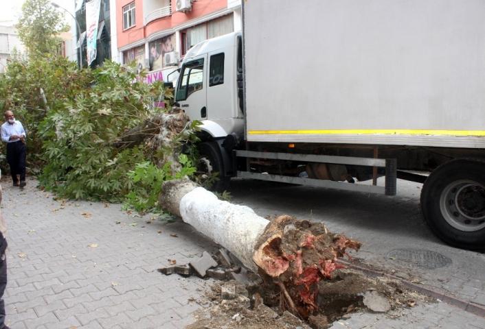 Kamyonun çarptığı çınar ağacı caddenin ortasına devrildi