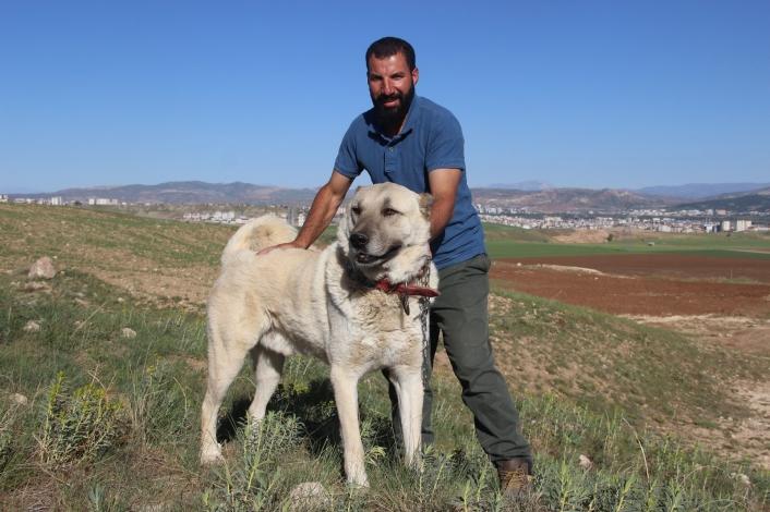 Kangal köpeği yetiştiricisi: