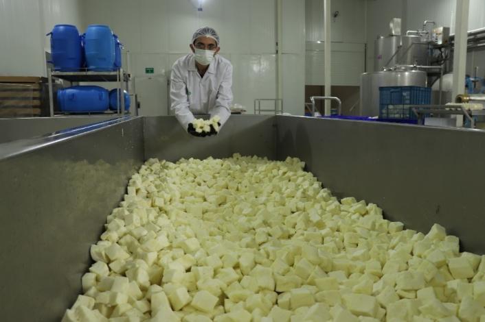 Koronaya karşı probiyotik peynir ürettiler