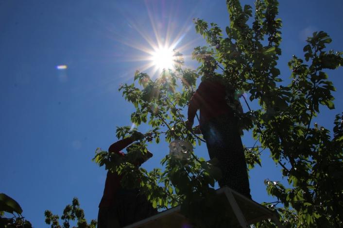 Mevsimlik işçilerden bayramda `turfanda kirazı´ hasadı