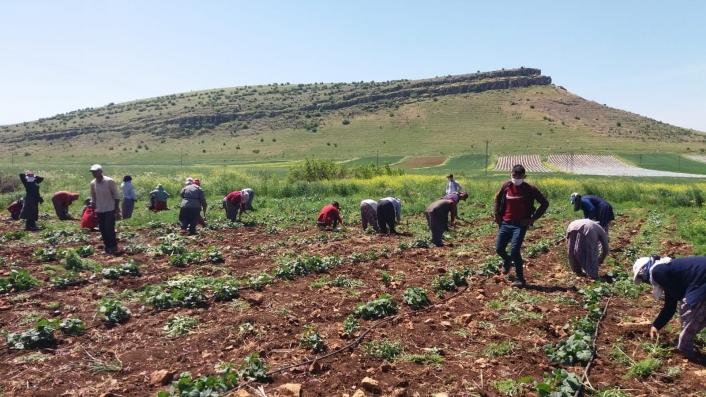 Mevsimlik tarım işçilerinin Ramazan´da zorlu mesaisi