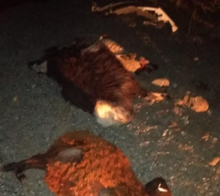 Otomobilin çarptığı 13 koyun telef oldu