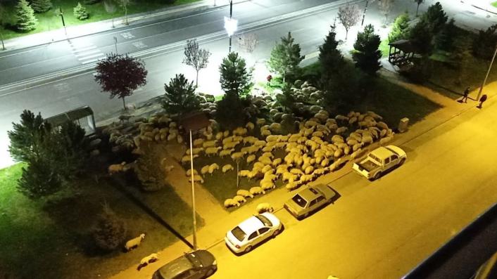 Pandemide boş kalan park koyunlara mera oldu