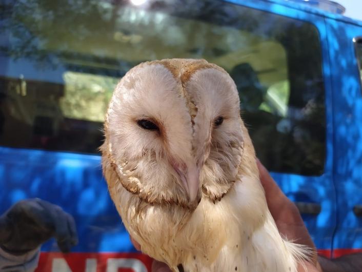Peçeli baykuş elektrik direğine takıldı