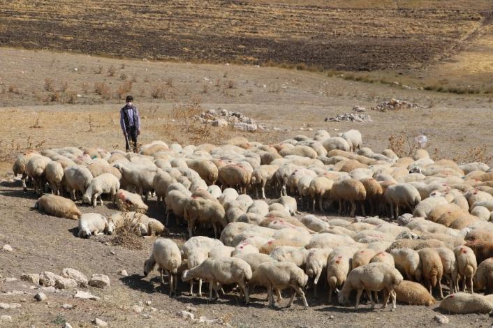 Sivas´ta hedef 1 milyon Kangal Akkaraman koyunu