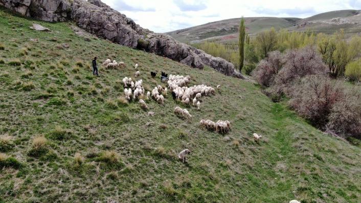 Sivas´ta ilkbaharın gelmesiyle yeşile bürünen meralar koyunlarla buluştu