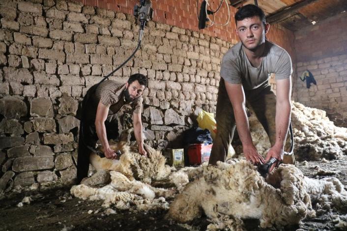 Sivas´ta koyunları kırkım işlemi başladı