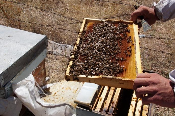 Toplu arı ölümlerinin sebebi bulundu