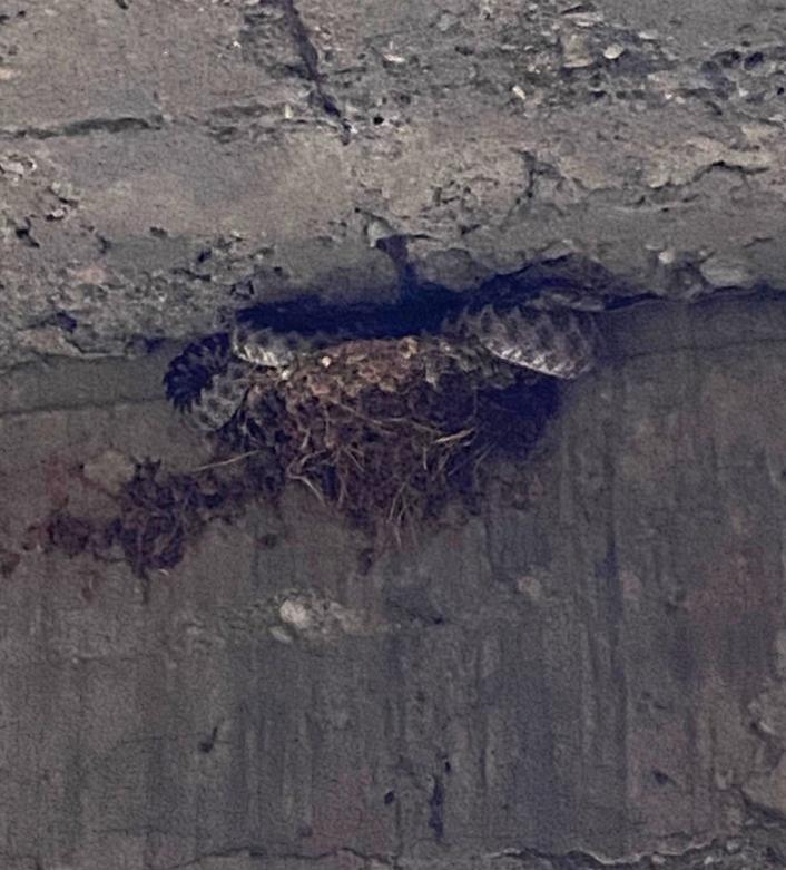 Üç metrelik yılan kırlangıç yavrularını yedi