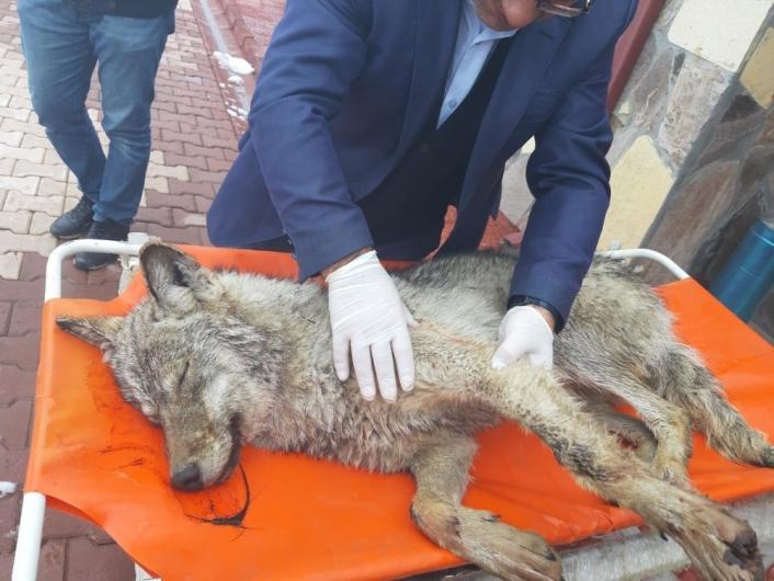 Yaralı kurt, hayvan bakımevinde tedavi altına alındı