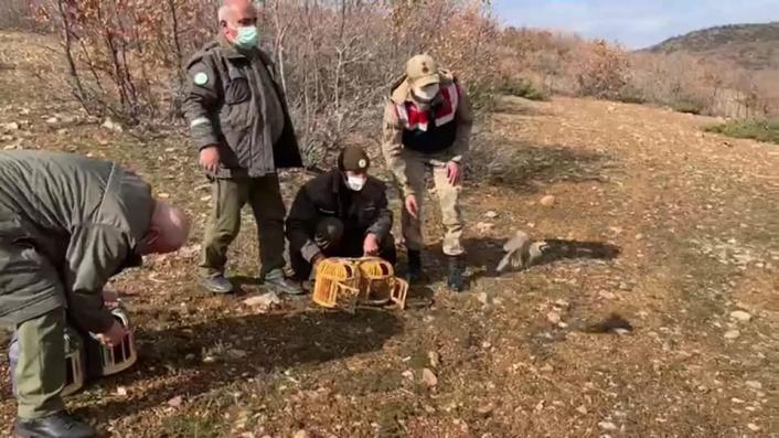 Yasak başladı, ele geçirilen kınalı keklikler doğaya salındı